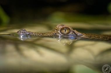 Australien-Krokodil (1)