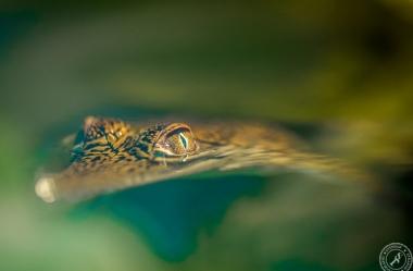 Australien-Krokodil (10)