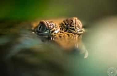 Australien-Krokodil (12)