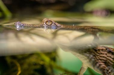 Australien-Krokodil (2)