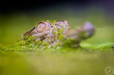 Australien-Krokodil (4)