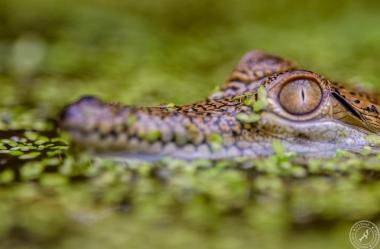 Australien-Krokodil (5)