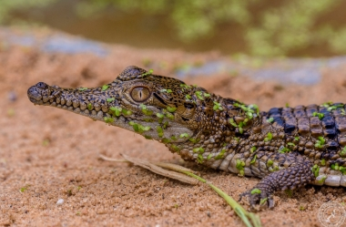 Australien-Krokodil (8)