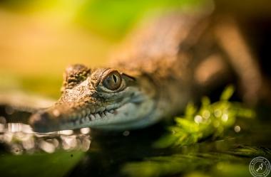 Australien-Krokodil (9)