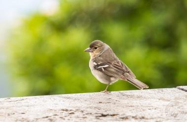 Der La Palma Buchfink