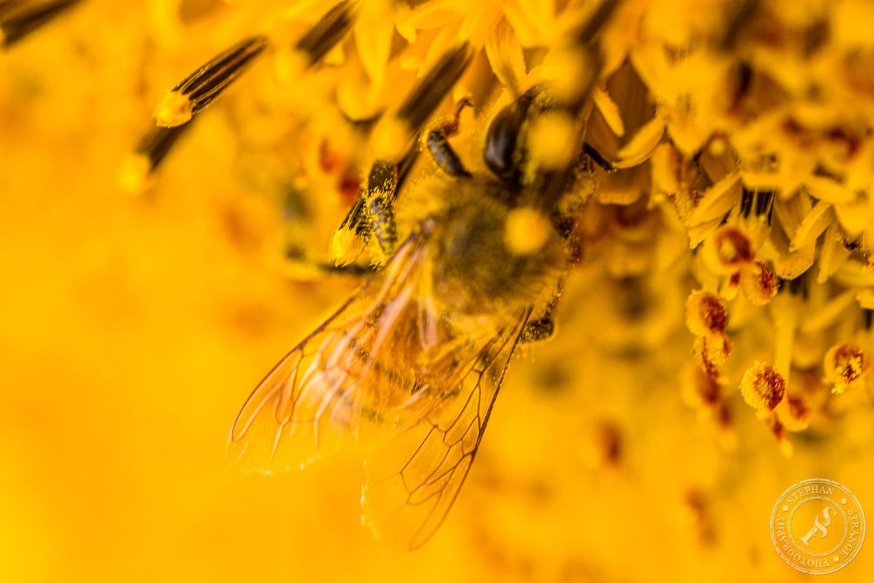 Eine Honigbiene sucht nach Blütenstaub