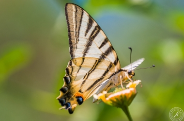 Ein Segelfalter // A scarce swallowtail