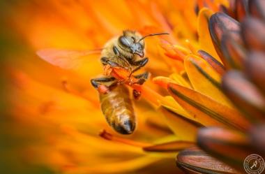 Eine Seidenbiene