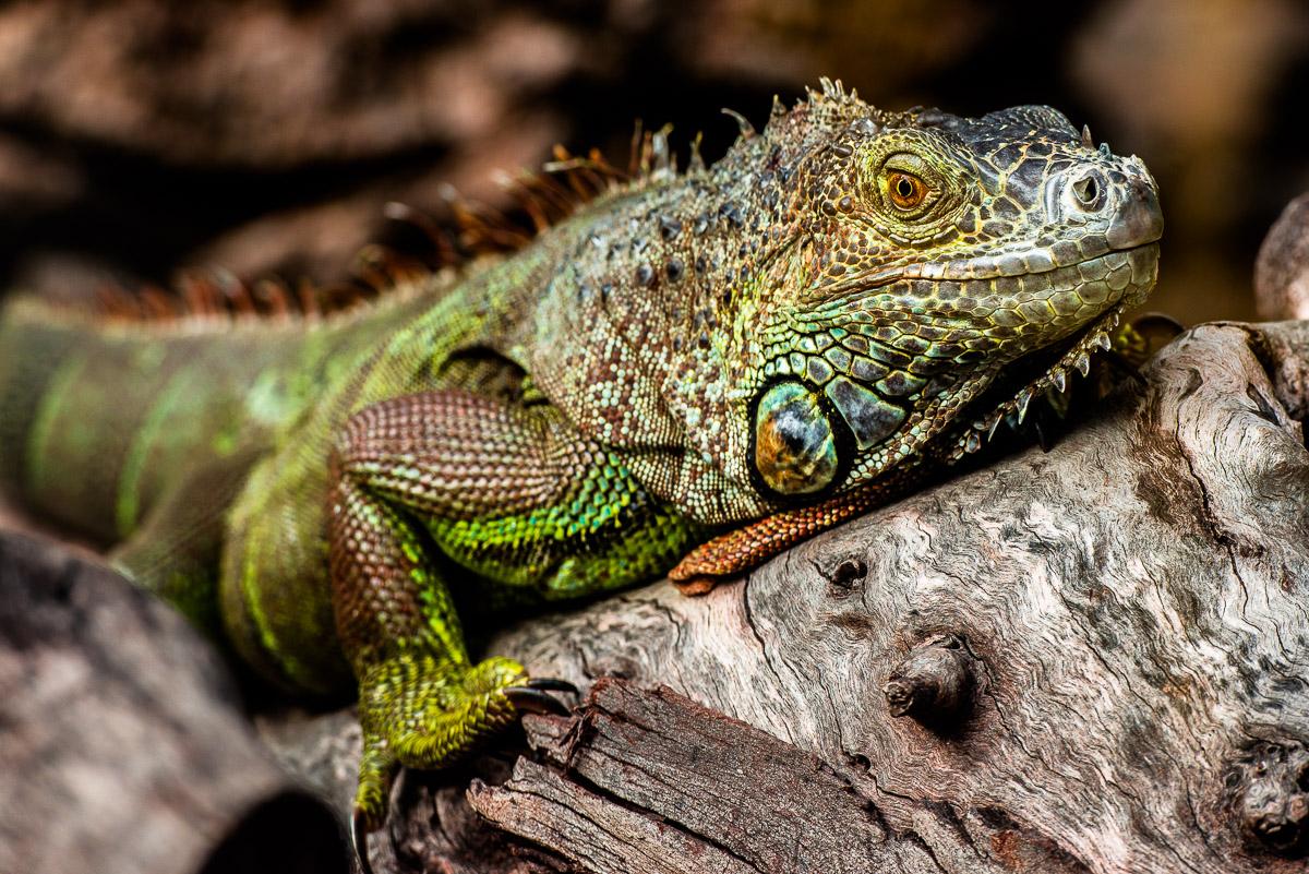 The green iguana - Iguana iguana