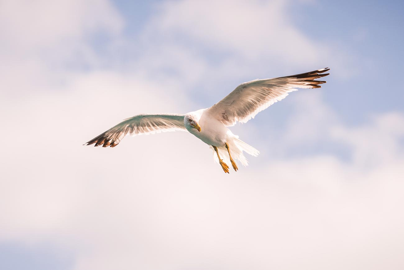 A Seagull at La Graziosa