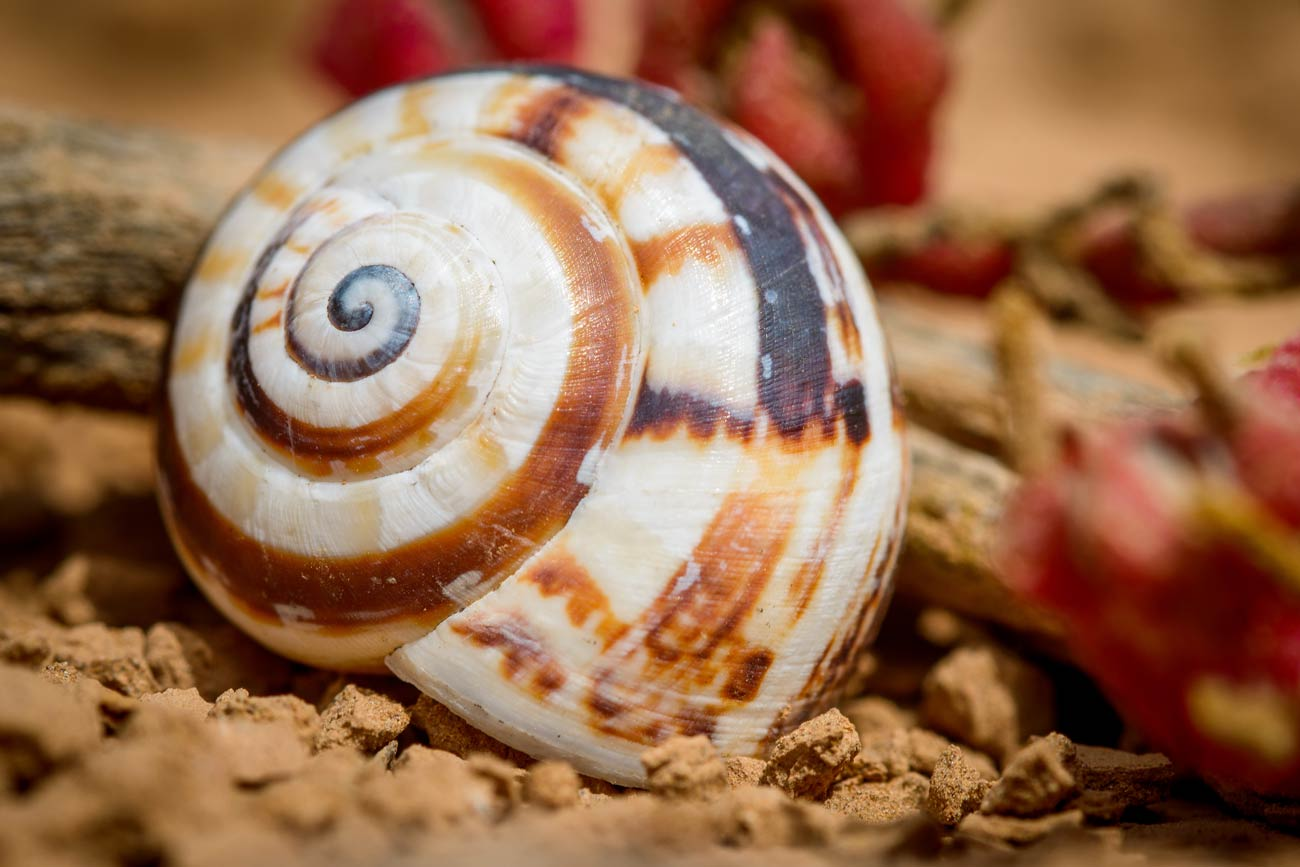 Colorfull snail shell on the crater bottom of Lanzarotes Vulcano Montana Roja
