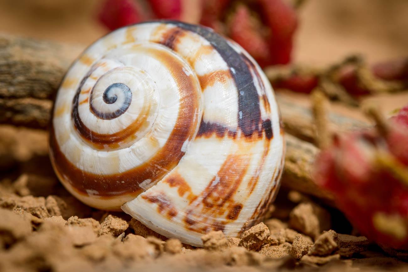 Colorfull snail shell on the crater bottom of Lanzarotes Vulcano Montana Roja