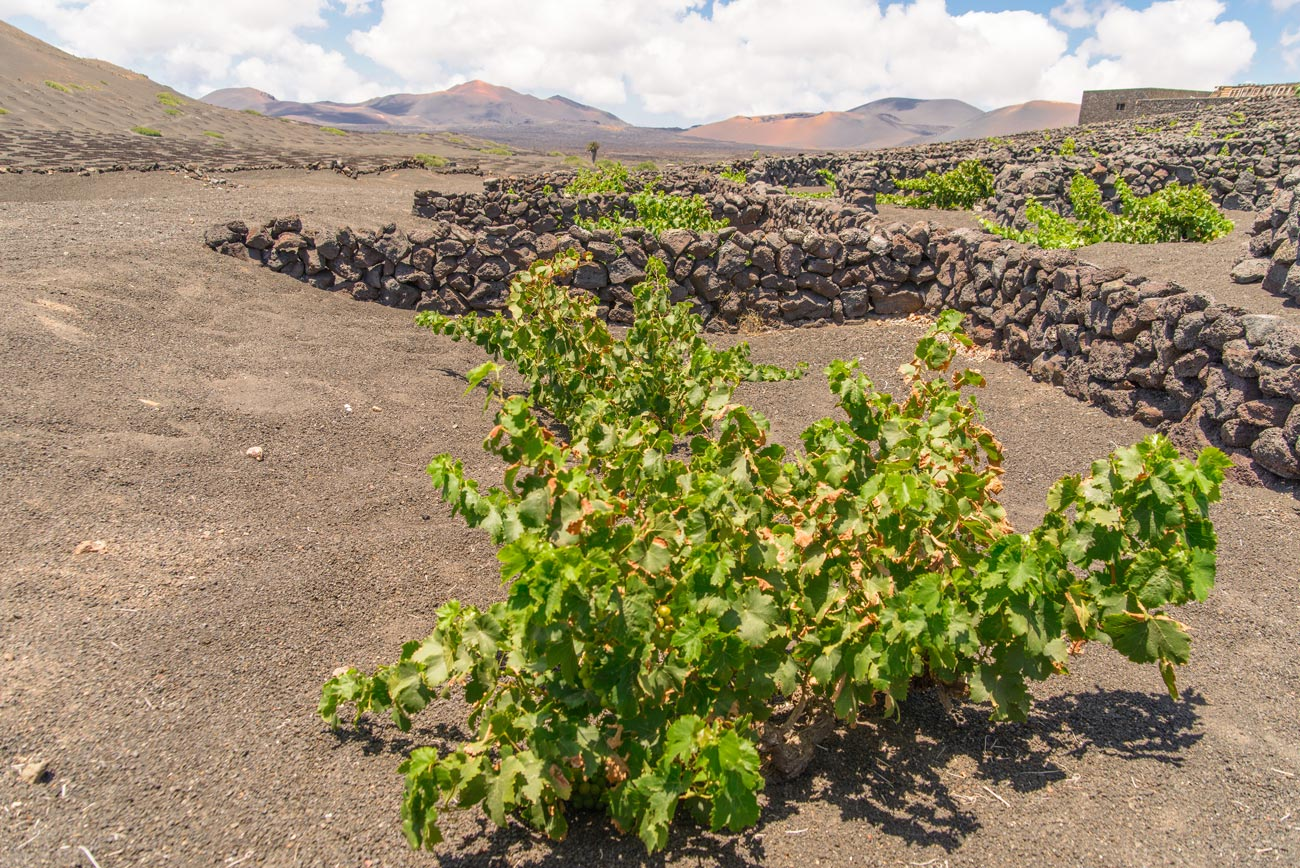 desert vineyard