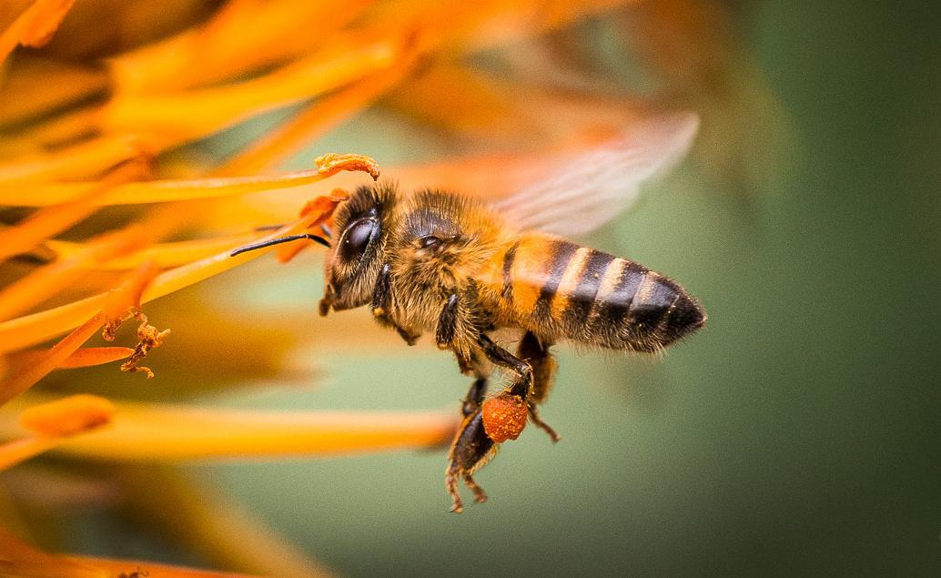 Eine Seidenbiene bei der Arbeit - Ivy Bee