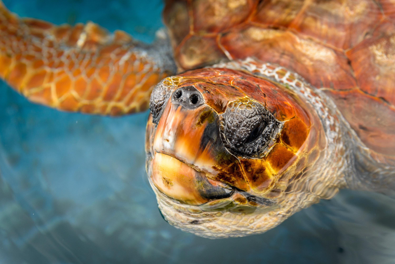Eine Unechte Karettschildkröte im Pflegebecken der Turtle Nursery am Hafen von Morro Jable.