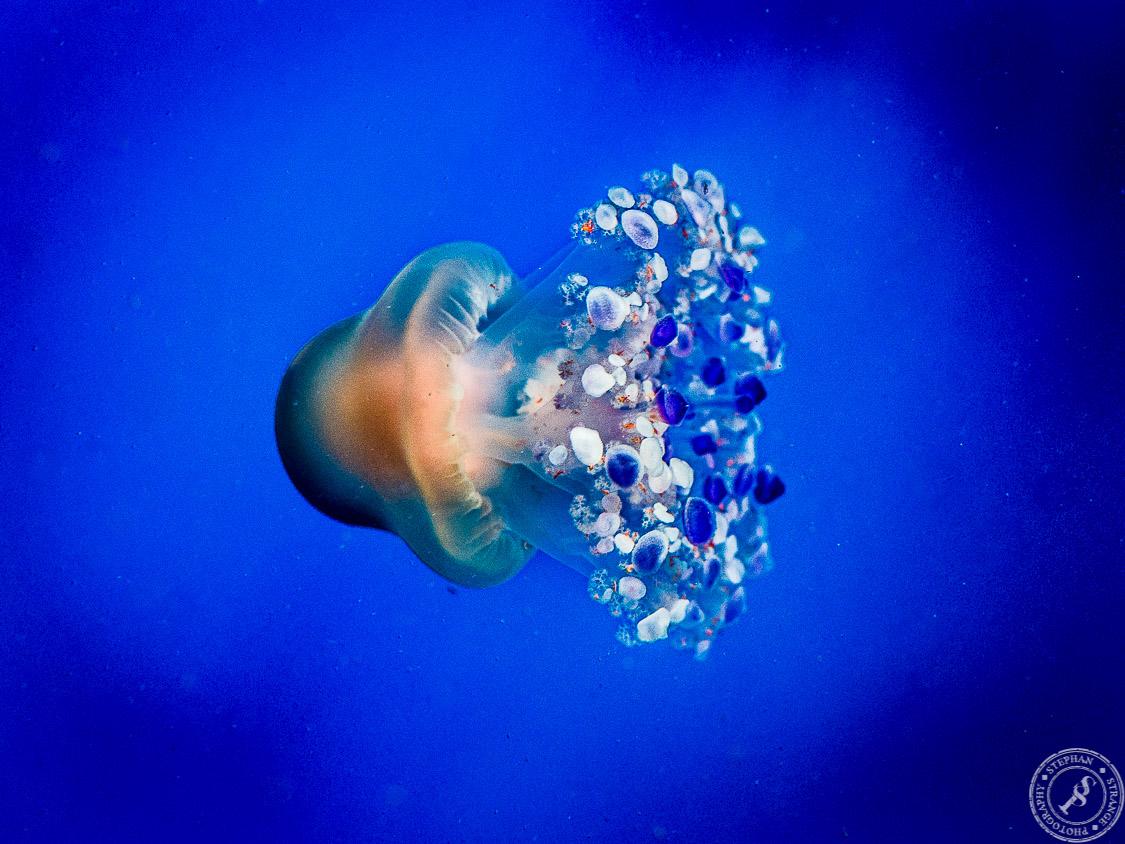 Ein Strauß bunter Quallen zieht seine Kreise im Aquarium des Loro Parks auf Teneriffa. // A colorful Jellyfish