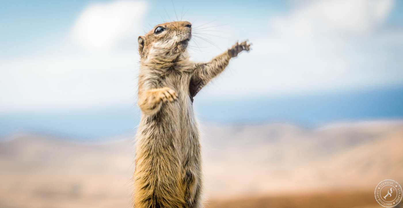 Atlashörnchen // Barbary Ground Squirrel