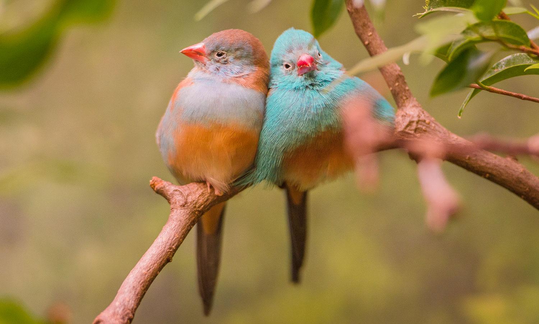 Blaukopf Schmetterlingsfink red-cheeked cordon-bleu Uraeginthus bengalus