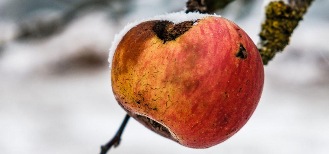 Winter Apfel. Bedeckt vom ersten Schnee. Mitten in den Streuobstwiesen.