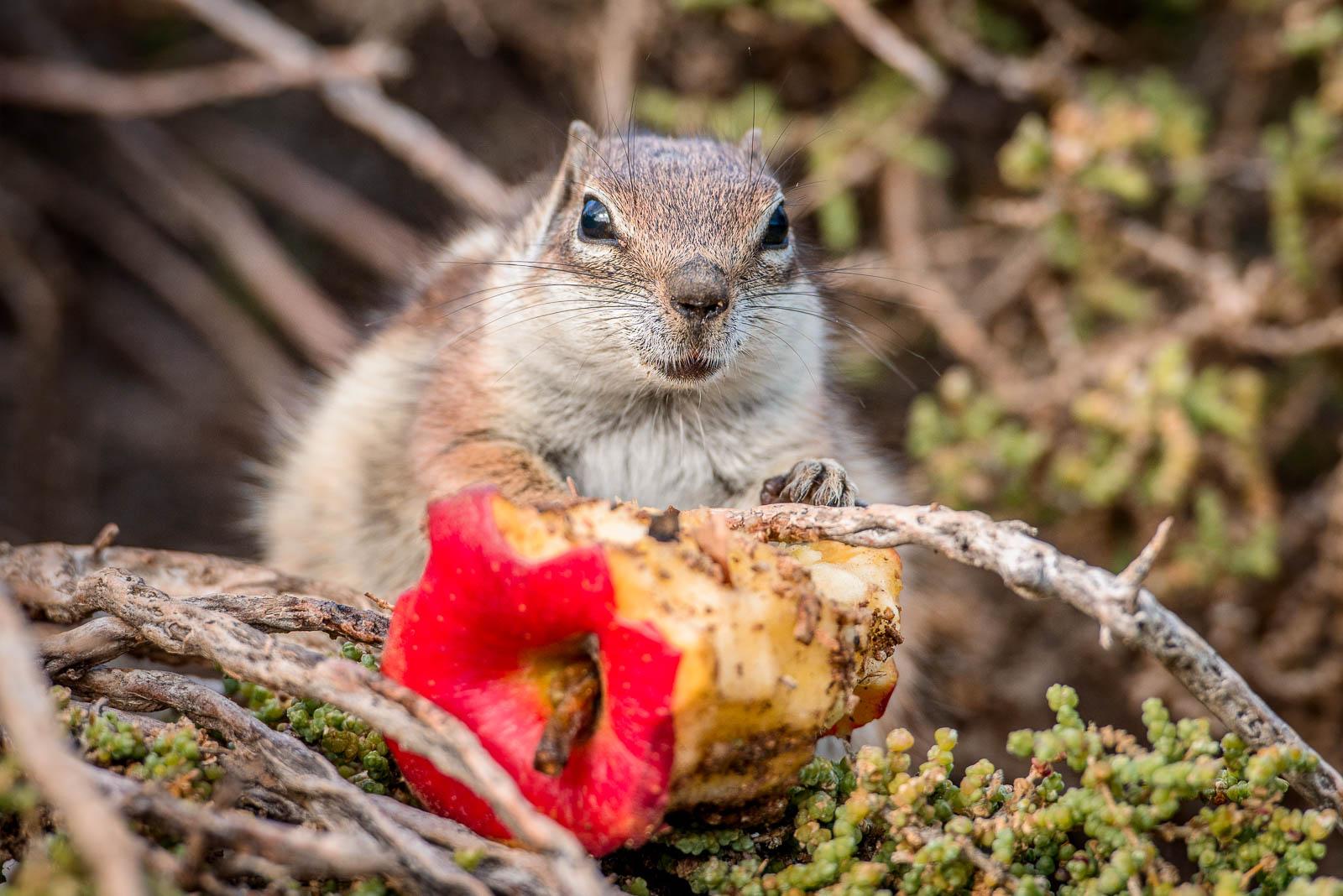 Nordafrikanische Borstenhörnchen
