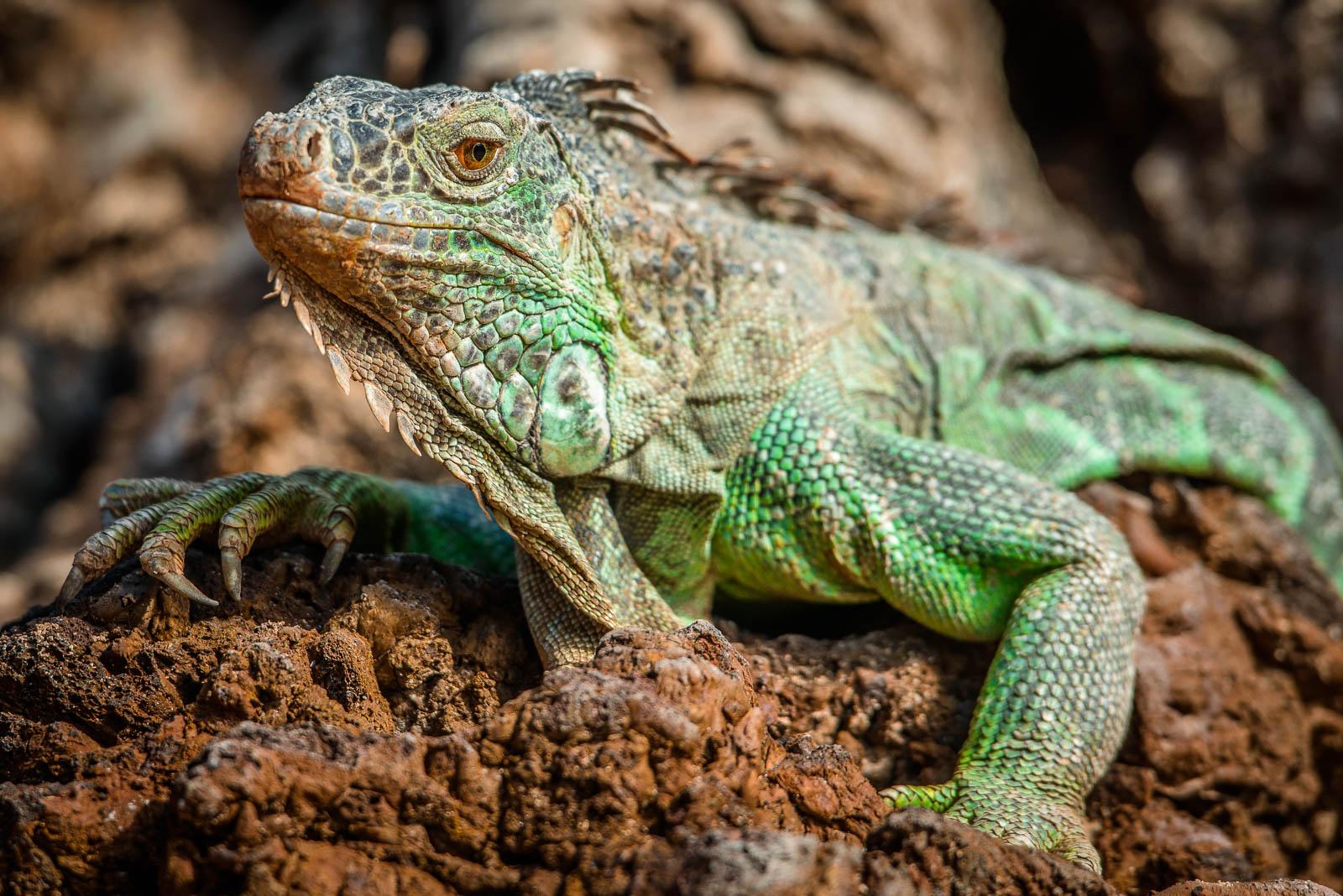 Grüner Leguan // Iguana Iguana